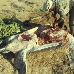 2wc.org image - LEGISLATION-Carib (Dc butchering, Guyana) - (c) S Eckert