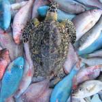 2wc.org image - LEGISLATION-Carib (Ei w trawled reef fish) DomRep - (c) Serge Aucoin