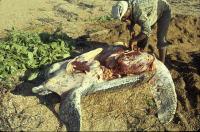 STATUS Dc butchering (Guyana) - (c) S A Eckert-WIDECAST