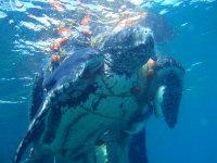 STATUS Dc entangled Croatia2 - (c) Emanuel Dobran, Adriatic Marine Turtle Program