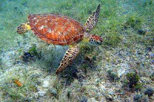 Cm in seagrass (USVI NPS) - (c) Caroline S Rogerslarge
