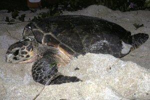 Ei nesting (St Croix) - (c) S A Eckert-WIDECASTlarge