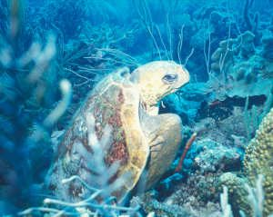 taxcc-cc-in-reef-bonaire-c-s-a-eckert-widecast