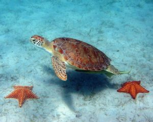 taxcm-green-turtle-w-sea-stars-c-caroline-rogers-us-national-park-service