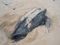 Anguilla1 - Daytime Nesting Leatherback (J Gumbs)small