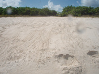 Anguilla2 - Captains Bay Hatchlings (S Wynne)small