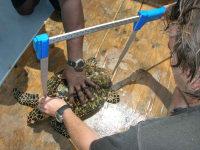 Anguilla3 - Hawksbill Sampling (F Mukhida)small