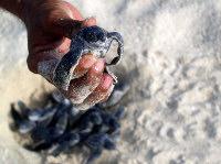 1 - Antigua - Dc hatchling in hand - (c) Jenny Freestone