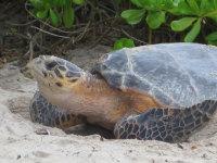 3 - Antigua - Ei nesting at Jumby Bay - (c) Jen Munhofen