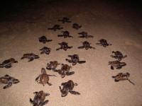 4 - Barbados - hawksbill hatchlings - (c) BSTP