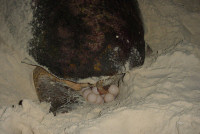 BIOCC Cc nesting No Name Klein Bonaire - (c) R vanDam 2003