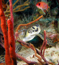BIOCM Cm in coral - (c) STENAPA Statia