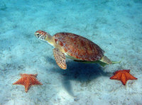BIOCM Green turtle w sea stars - (c) Caroline Rogers (US National Park Service)