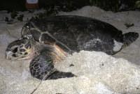 BIOEI Ei nesting (St Croix) - (c) S A Eckert-WIDECAST