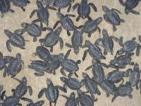 BIOLK Lk hatchlings (several) - (c) USNPS-PAIS