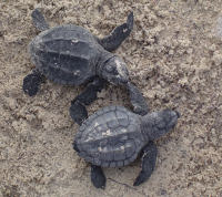 BIOLK Lk hatchlings (two) - (c) USNPS-PAIS