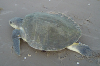 BIOLK Lk return to the sea1 - (c) USNPS-PAIS