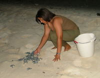 Cayman1 hatchlings released - (c) DoE