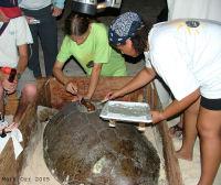 Cayman2 DoE turtle transmitter attachment - (c) Mark Orr
