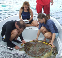 Cayman3 Green turtle measured by DoE staff - (c) DoE