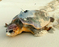 Cayman3 Loggerhead with tansmitter - (c) DoE