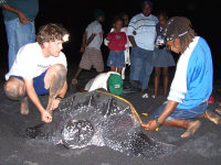 DM6 leatherback measuring at Rosalie - (c) Carol G Stapleton