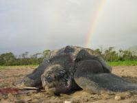 Grenada 2 - Leatherback w rainbow - (c) K Maison