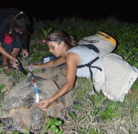 Guadeloupe10 - Hawksbill measuring