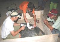 Guadeloupe11 - Green turtle w transmitter