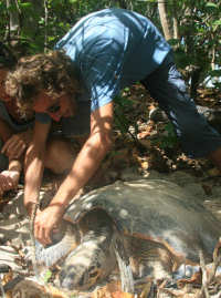 Guadeloupe9 - Hawksbill tagging