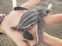 Guatemala2 - Dc hatchling in hand - (c)