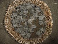 Guatemala7 - Lo hatchlings