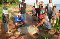 Guyana3 - Wardens tagging a turtle while community looks on (GMTCS)