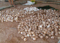 Guyana9 - Eggs poached in 2006 (GMTCS)