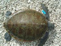 tagging-12kb-cm-dorsal1-w-rototag-c-stcb